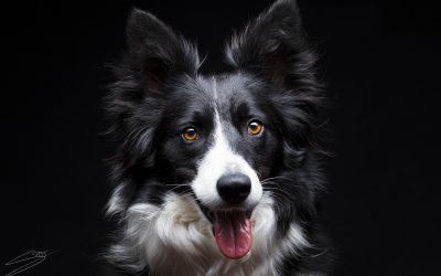 Fotografo de perros en Alcoy – Roxy Border Collie