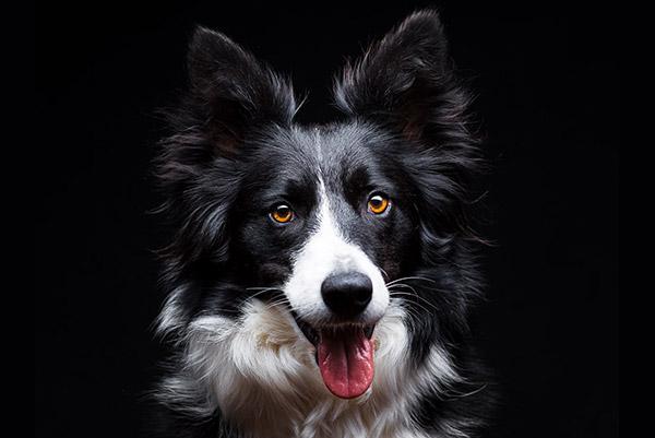 Retrato a un Border Collie en el estudio de PSTFotografia. Fotografo de perros en Alcoy
