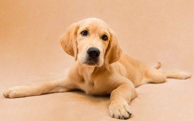 Fotografo de perros en Alcoy – Bunchy Golden Retriever