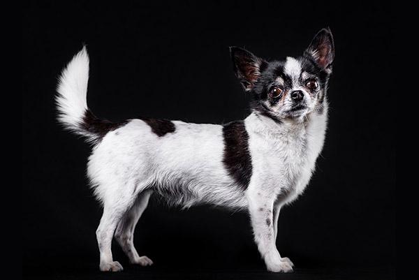 Chiuaua posando estilizada en el estudio de PSTFotografia. Fotógrafo de perros en Alcoy