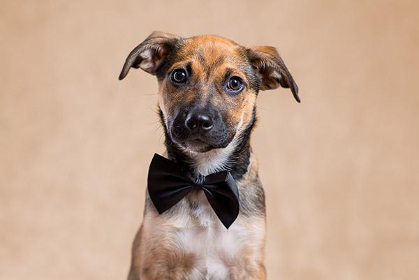 Perro mestizo elegante con pajarita en el estudio de PSTFotografia. Fotógrafo de perros en Alcoy