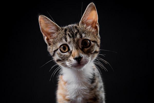 Gatita bebe curiosa con la cámara en el estudio de PSTFotografia. Fotografo de gatos en Alcoy